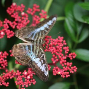 蝶の写真 シンガポール蝶撮影旅行① チャンギ国際空港のトラフタテハ等