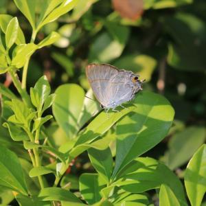 蝶の写真 シンガポール蝶撮影旅行② オーチャードロード・バタフライトレイルのツメアシフタオシジミ等