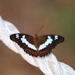 蝶の写真 シンガポール蝶撮影旅行④ ブキッ・ティマ自然保護区のチャイロイチモンジ等