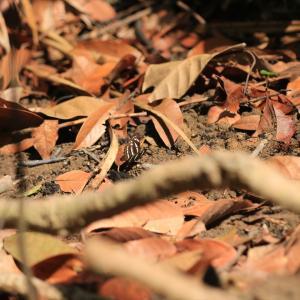 蝶の写真 シンガポール蝶撮影旅行⑤ ビューティーワールドのヘリグロホソチョウ等