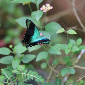 蝶の写真 シンガポール蝶撮影旅行⑥ セントーサ島バタフライパークのアオネアゲハ等