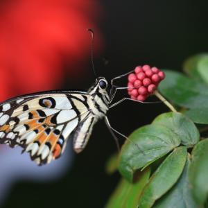 蝶の写真 シンガポール蝶撮影旅行⑦ チャンギ国際空港バタフライガーデンのオナシアゲハ等