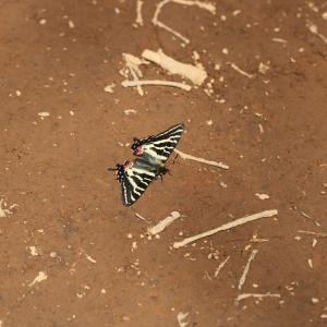 蝶の写真 2020初蝶のテングチョウと石砂山のギフチョウ