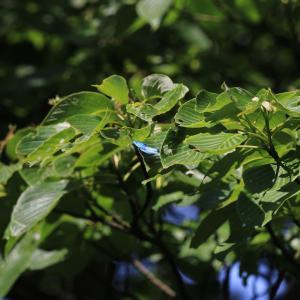蝶の写真 オオミドリシジミとミドリシジミとウラナミアカシジミ