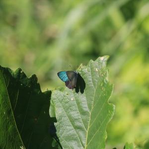 蝶の写真 陣馬山のオオミドリシジミもしくはハヤシミドリシジミ