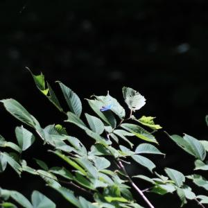蝶の写真 檜原都民の森のフジミドリシジミ