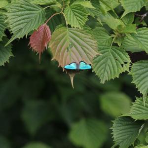 蝶の写真 檜原都民の森のアイノミドリシジミ