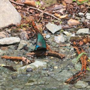 蝶の写真 丹沢湖のカラスアゲハ
