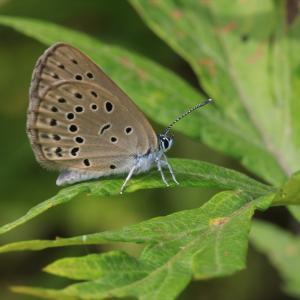 蝶の写真 北海道の蝶 南千歳駅周辺のゴマシジミと円山公園のオナガシジミ