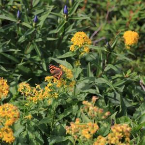 蝶の写真 北海道の蝶 旭岳のコヒオドシ