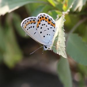 蝶の写真 久しぶりのミヤマシジミ