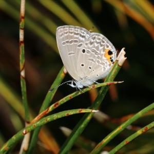 蝶の写真 神奈川県逗子市のクロマダラソテツシジミ