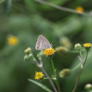 蝶の写真 ウラナミシジミ、キタテハ、クロコノマチョウ
