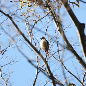 野鳥の写真 ヒレンジャクとかエナガとか