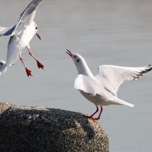 野鳥の写真 多摩川六郷橋緑地の冬の鳥いろいろ