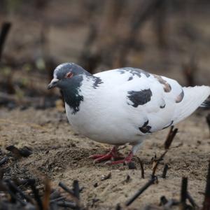 野鳥の写真 白多めのカワラバト