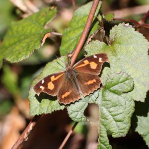 蝶の写真 3月半ば、怒涛のテングチョウ