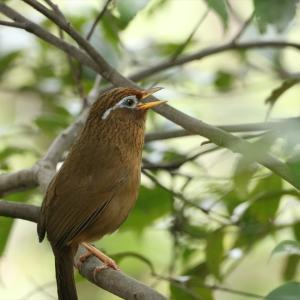 野鳥の写真 生田緑地のガビチョウ