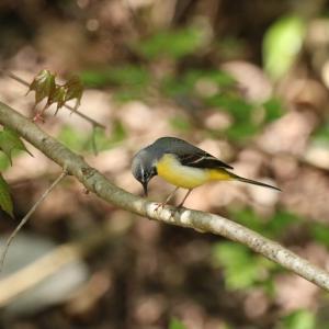 野鳥の写真 木下沢林道のキセキレイ