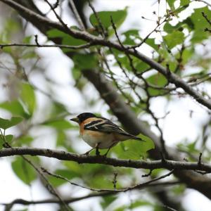 野鳥の写真 狭山湖周辺のアトリ、カイツブリ、コチドリ、ノビタキ