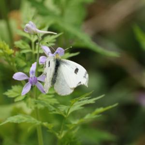 蝶の写真 さいたま緑の森博物館のツマキチョウ