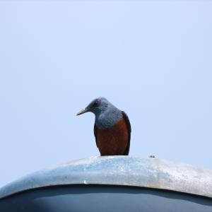 野鳥の写真 丹沢湖のカケス、センダイムシクイ、イソヒヨドリ