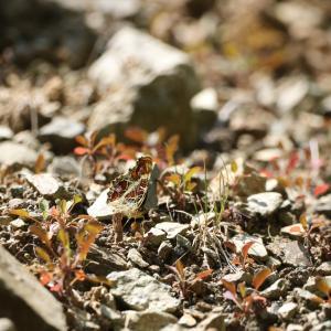 蝶の写真 丹沢湖のサカハチチョウ
