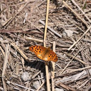 蝶の写真 後翅が白っぽいツマグロヒョウモン