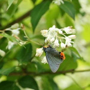 蝶の写真 木下沢林道のアオバセセリとカラスアゲハ