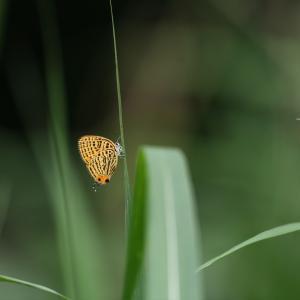 蝶の写真 舞岡公園のウラナミアカシジミとウラゴマダラシジミ