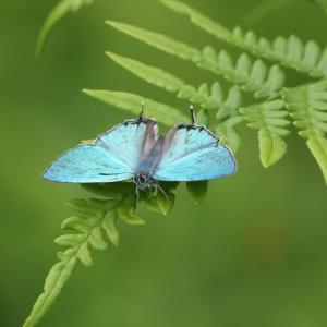 蝶の写真 陣馬山のオオミドリシジミとウラギンヒョウモン