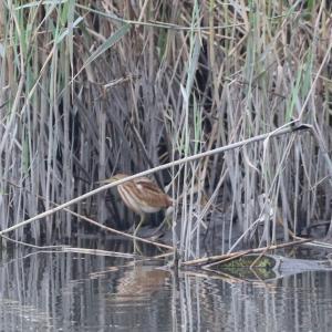 野鳥の写真 ヨシゴイとクイナとタシギ