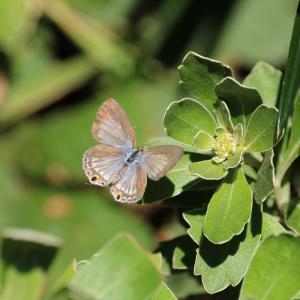蝶の写真 葛西臨海公園のクロマダラソテツシジミ