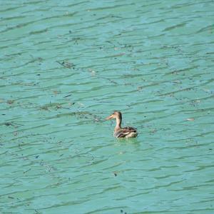 野鳥の写真 丹沢湖のマガモとハシビロガモ