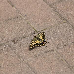 蝶の写真 北海道の蝶 藻岩山のキアゲハ