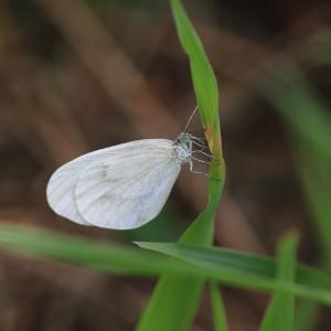蝶の写真 北海道の蝶 広尾町西広尾川河川敷のエゾヒメシロチョウ