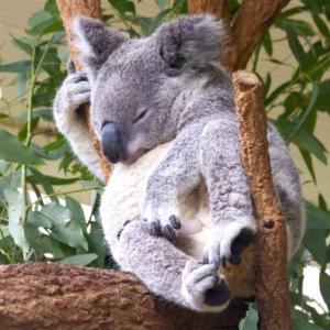 コアラにユーカリは本来毒物