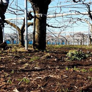 三角ホーを使って木の根元の草削り(刈り)
