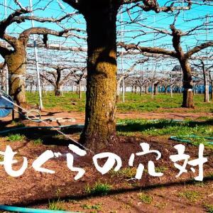 梨の樹勢が弱いのはモグラの穴のせい?