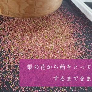 梨の交配作業シーズンに入りました。