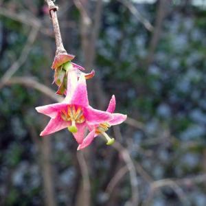 ウグイスカグラ開花