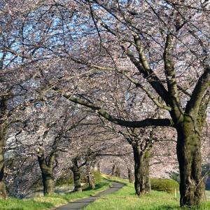 桐生市梅田町 ミツマタの花が満開です
