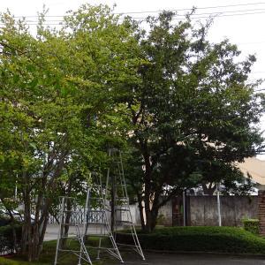 枯れ木の伐採と枝落とし