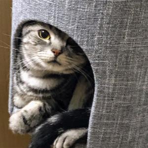 かわいい! ミーちゃん。キャットタワーの中に入る!