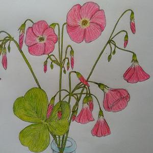 (ハナカタバミ「花片喰」)の絵&案山子のニューバージョン