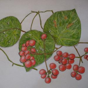 赤い実の(ヒヨドリジョウゴ「鵯上戸)」の絵&実のなる植物