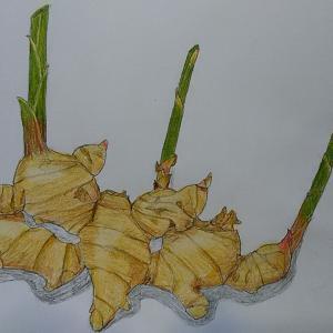 Tさんの畑の生姜の色鉛筆画&生姜湯&生姜の効能