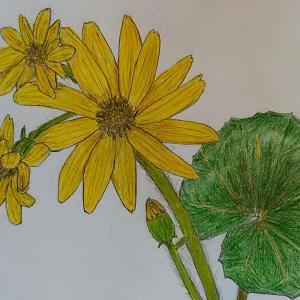 (ツワブキ「石蕗」)の花の絵&島のかわいい花