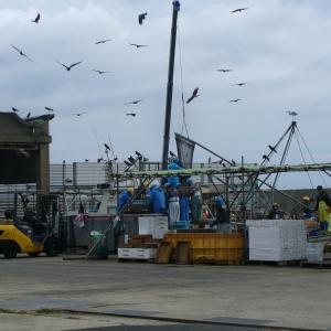 港は鳥がいっぱいです:定置網の陸揚げ