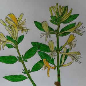 (スイカズラ「忍冬」)を描きました&島の近所の植物